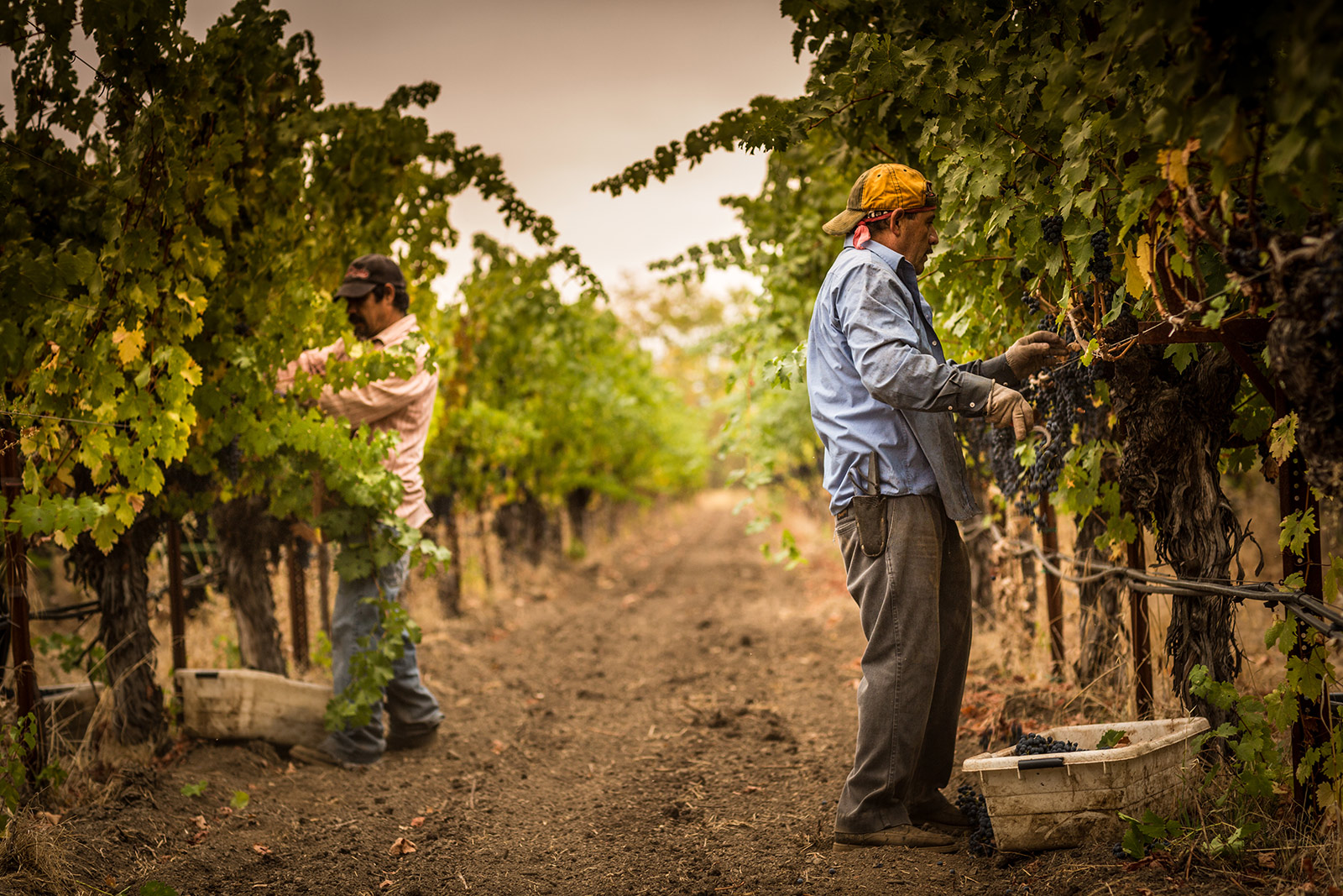 Harvest Cabernet Sauvignon in Rutherford |  Grgich Hills