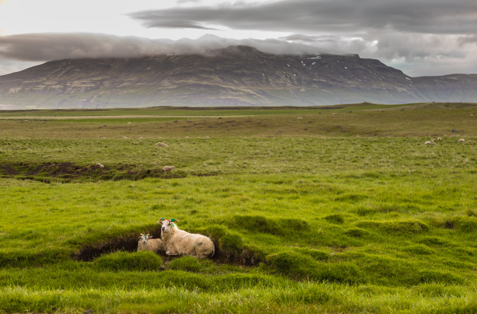 Lamb in its land in Iceland