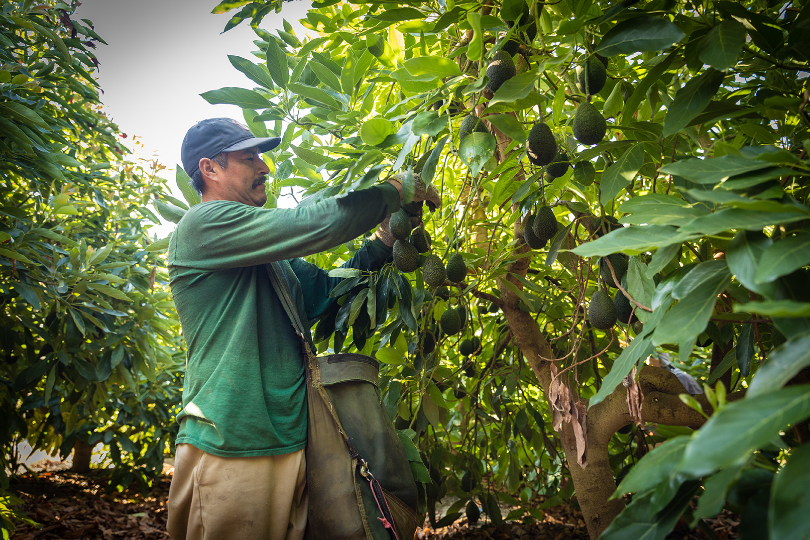 Avocado Harvest at Refugio Ranch in Goleta, California