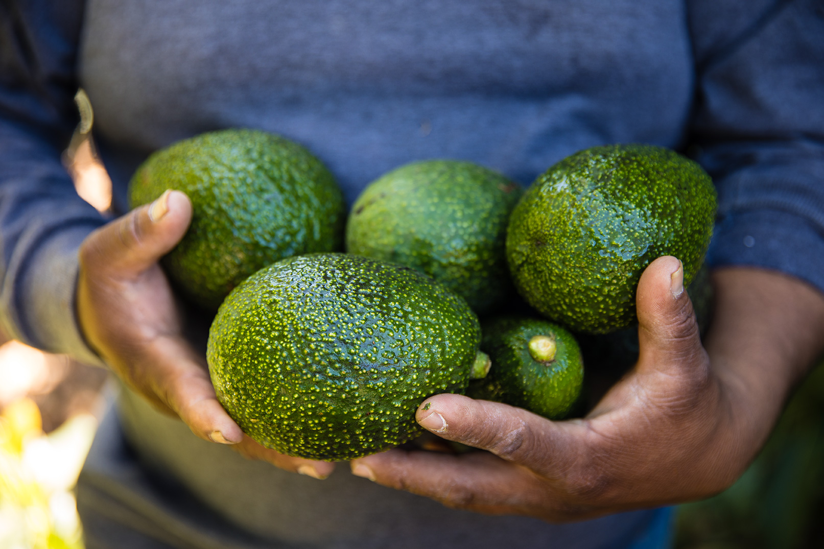 Fresh Avocados, just picked from the trees