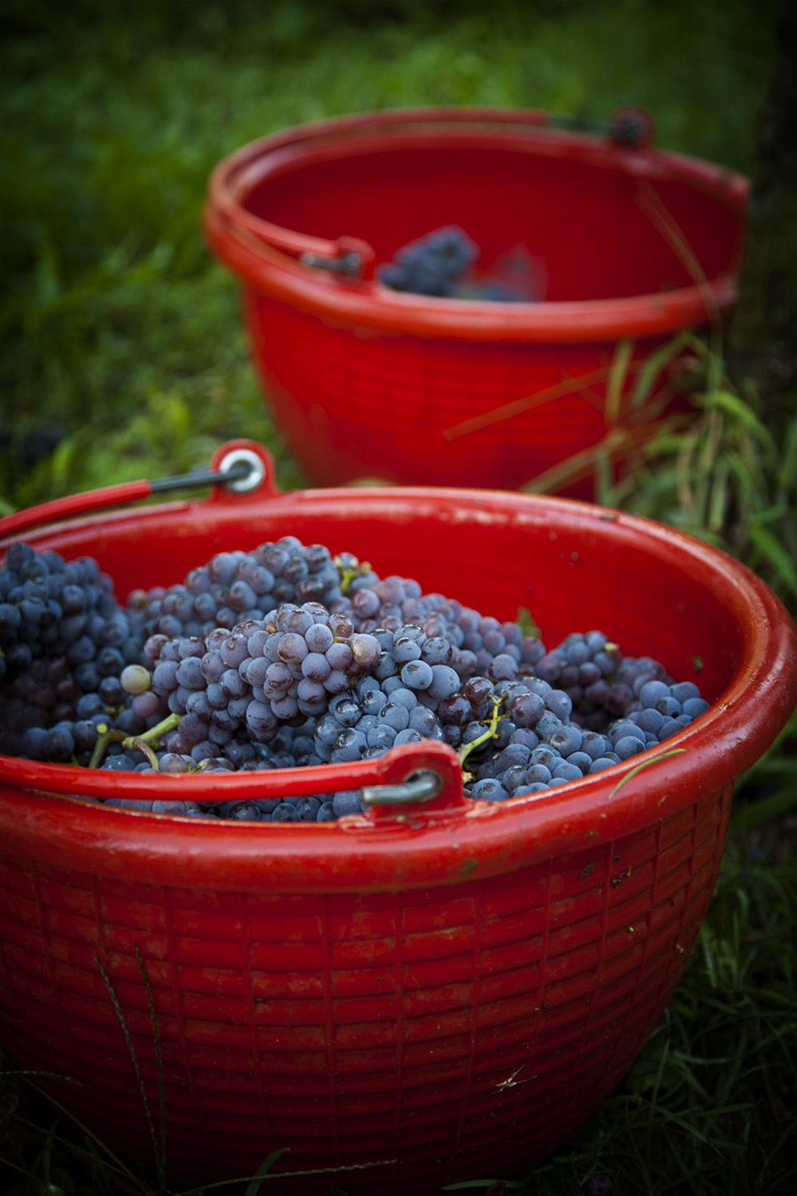 Pinot Grigio Grapes in Buckets