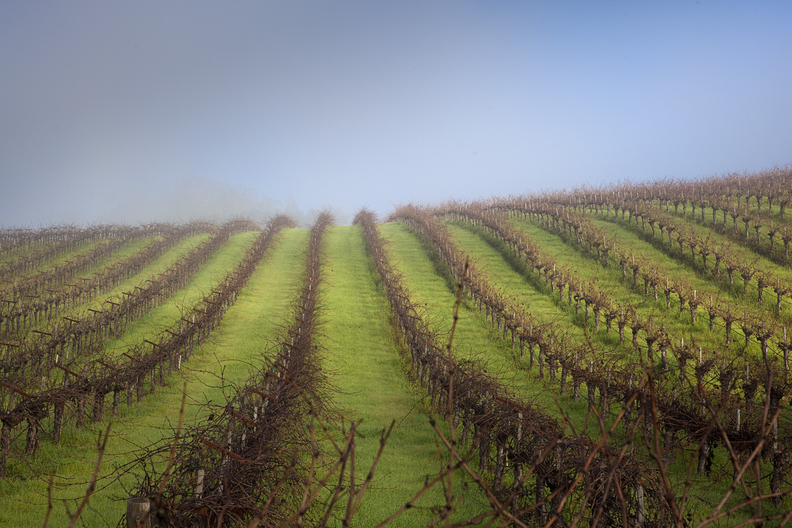 Carneros Vines in Winter