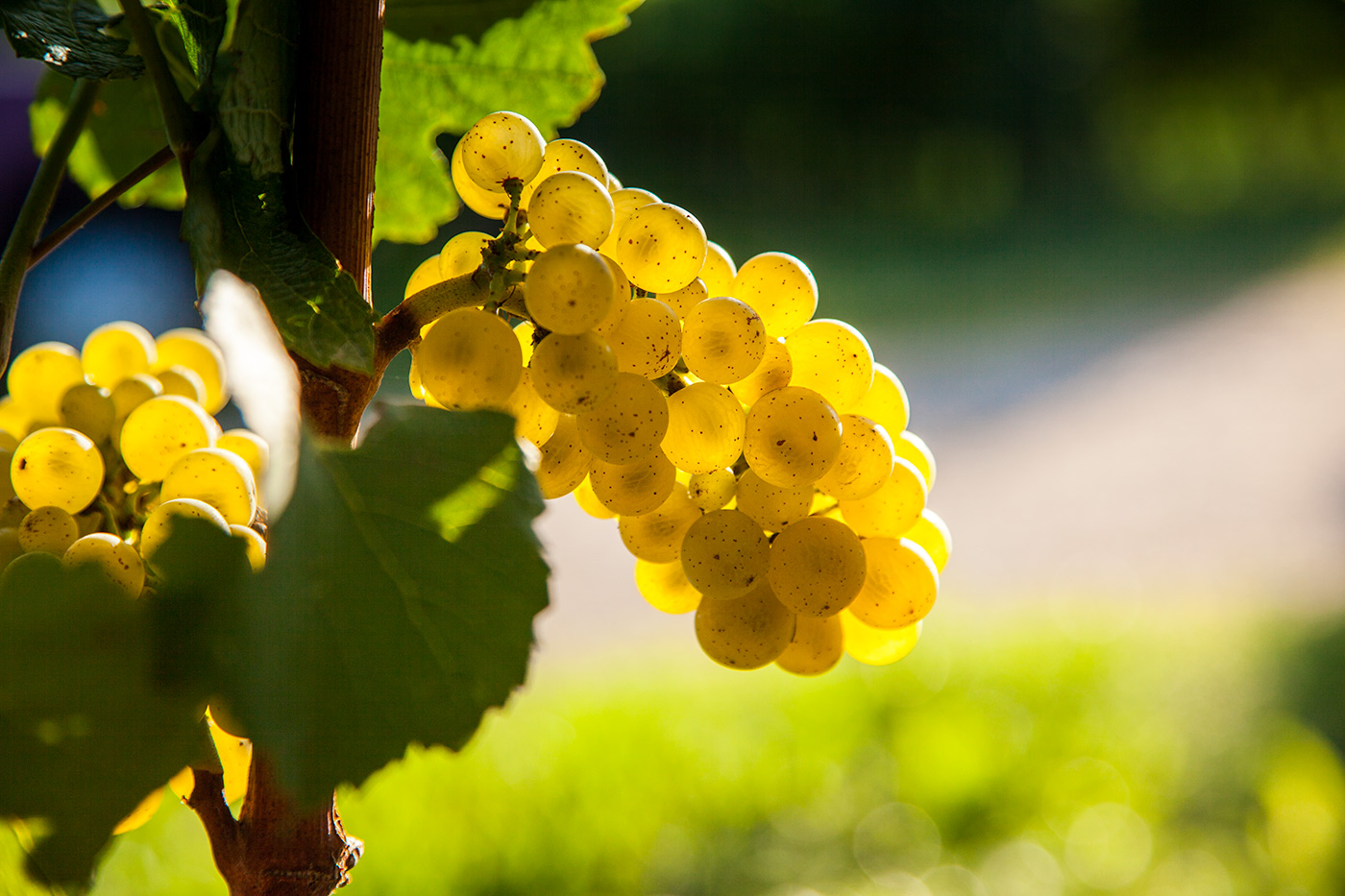 Chardonnay Grape. Friuli