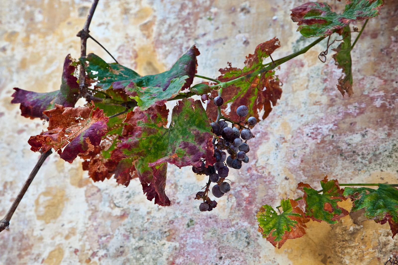 """Natura Morta"". Grape cluster in Lisbon"