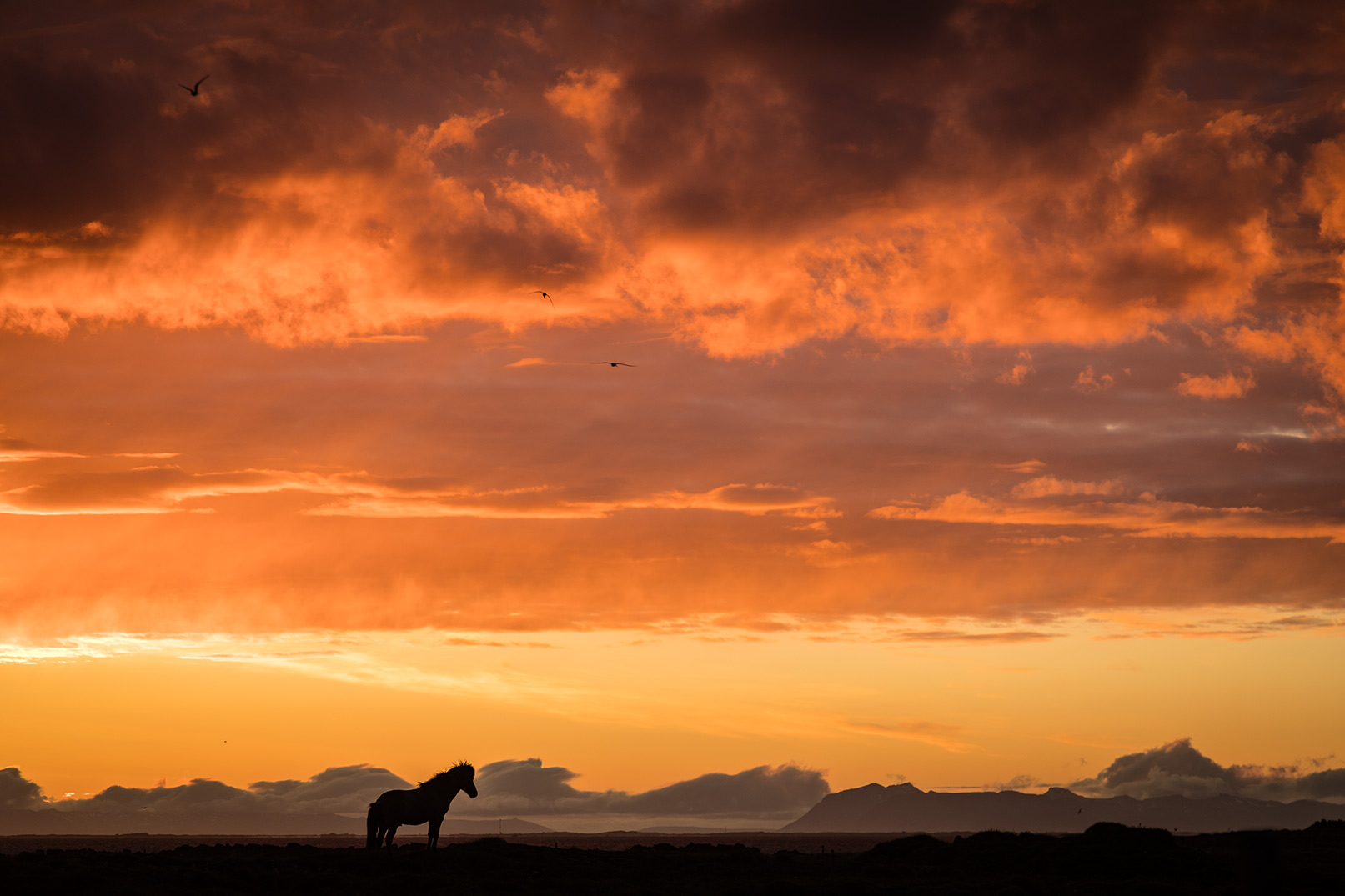 Iceland Horse at Midnight Sun. Wonderful landscape