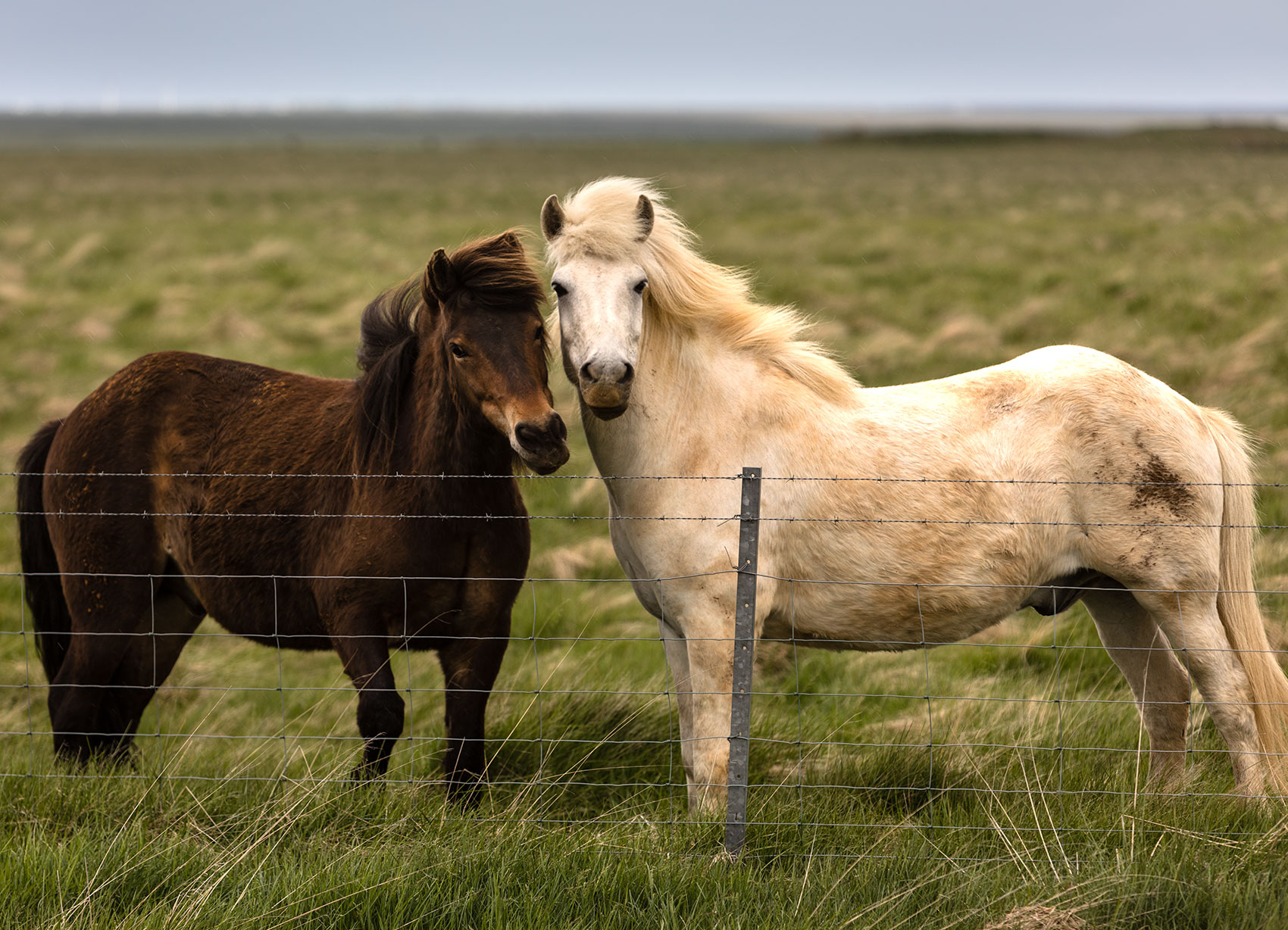 Southern Iceland, Horses in the Wind