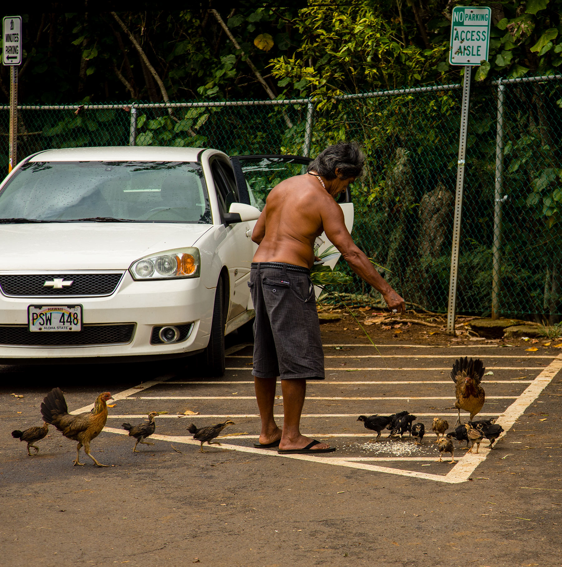 Chickens and Rusters in Kauai. Feeding