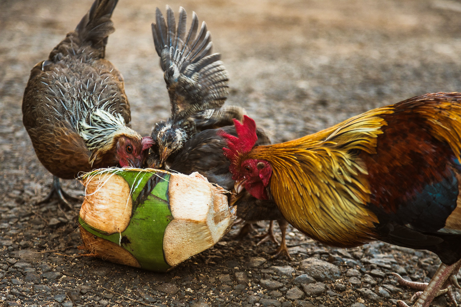 Chickens and Ruster in Kauai sharing a coconut