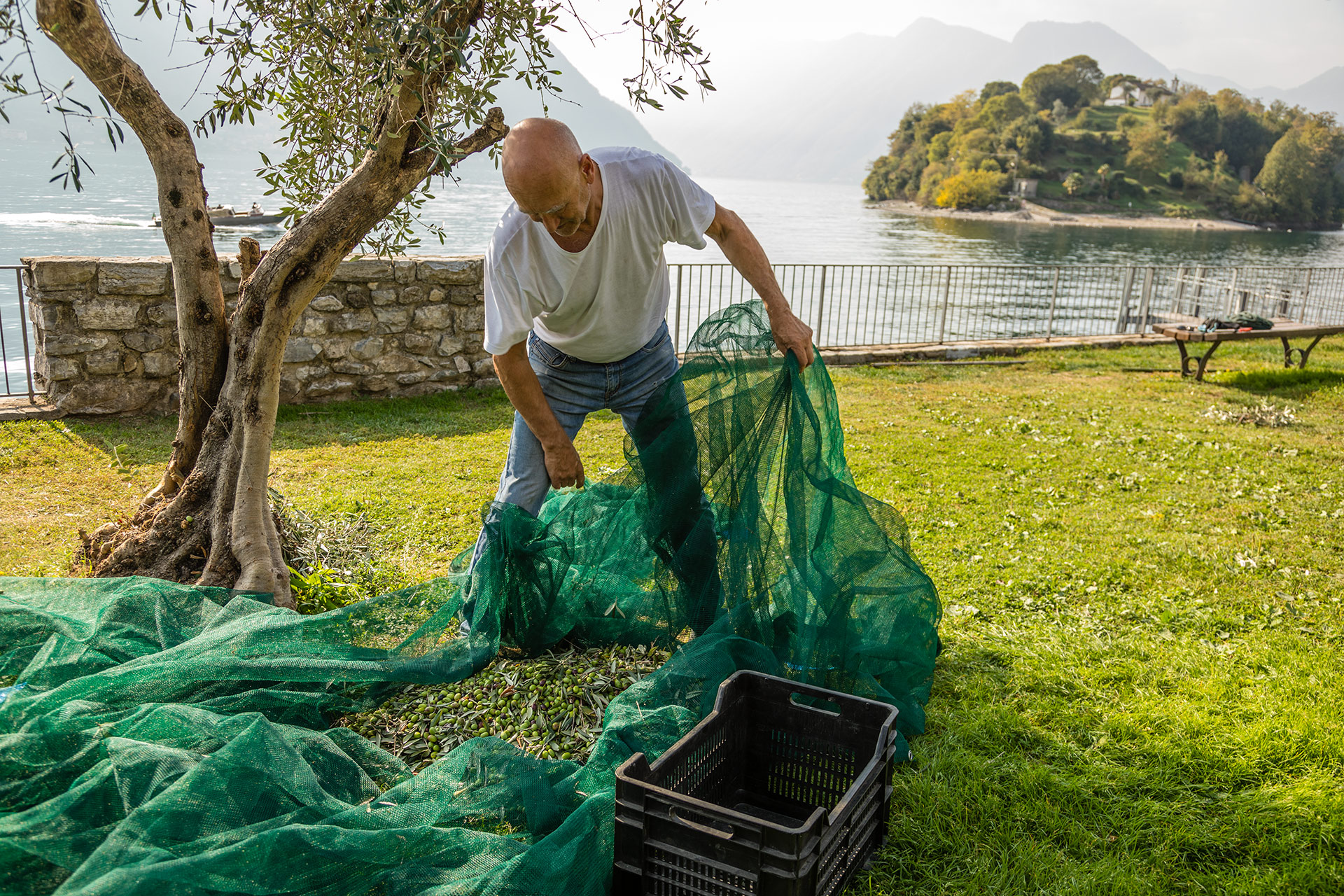 Lake Como Olives Harvest
