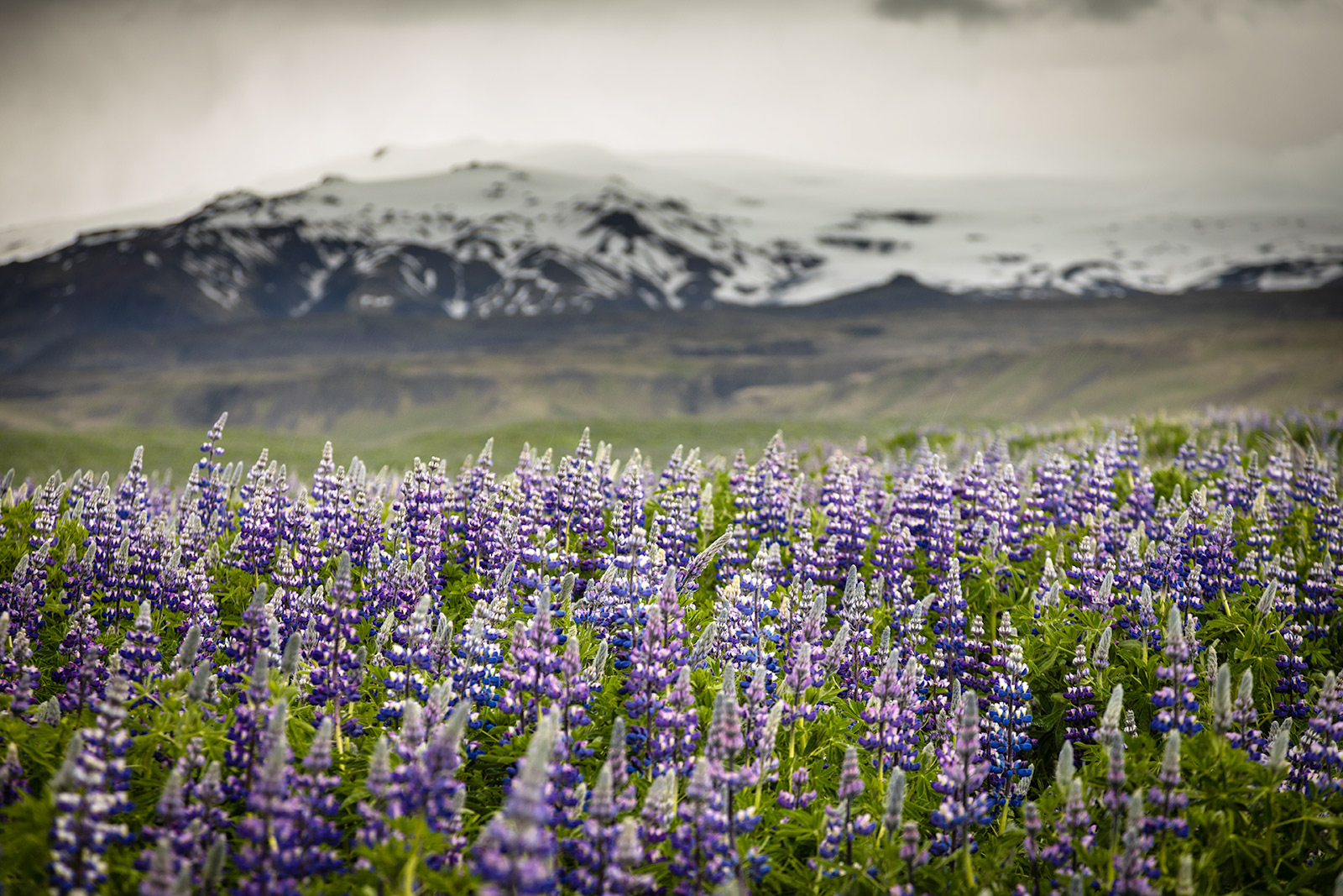 lupins-flowes-iceland